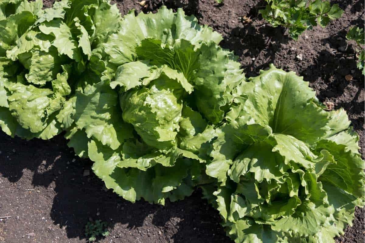 A row of iceberg lettuce grows in a garden.