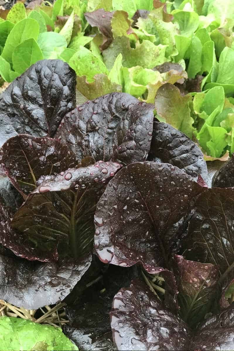 Purple heads of Marshall dark romaine lettuce grow in a garden.
