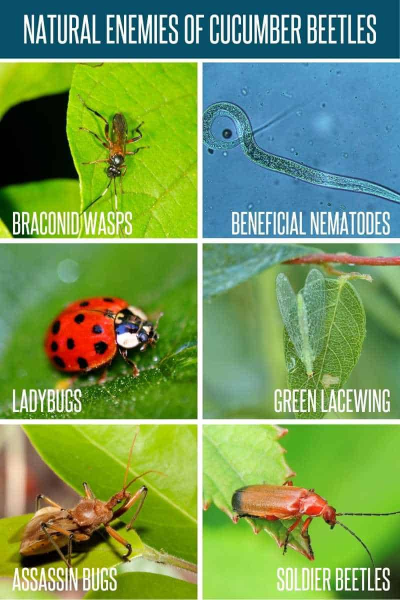A divided image shows natural enemies of cucumber beetles, such as ladybugs, soldier beetles, assassin bugs, and others.