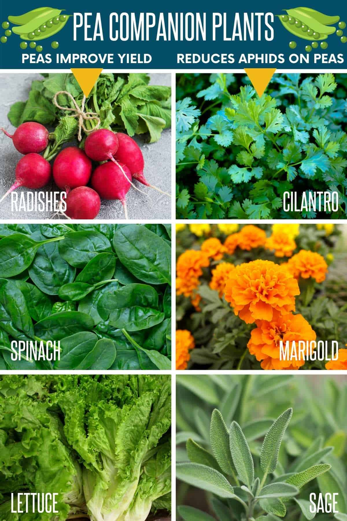 A collage image shows various companion plants for peas.