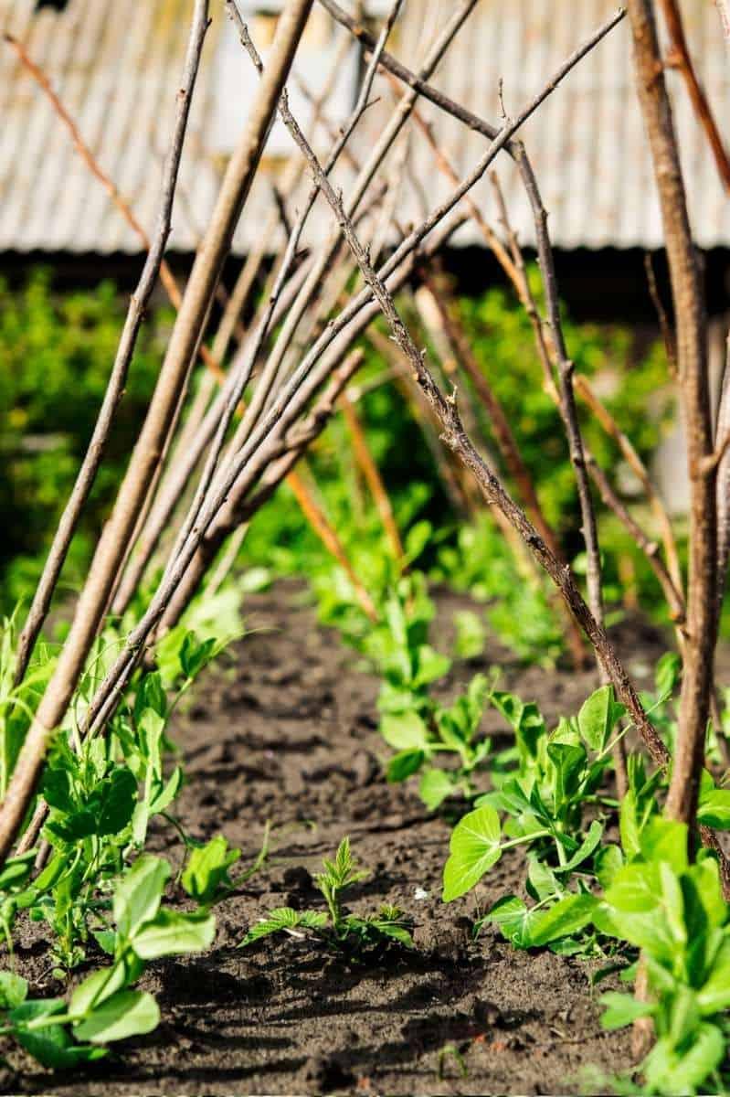 Baby pea plants grow beneath trellises