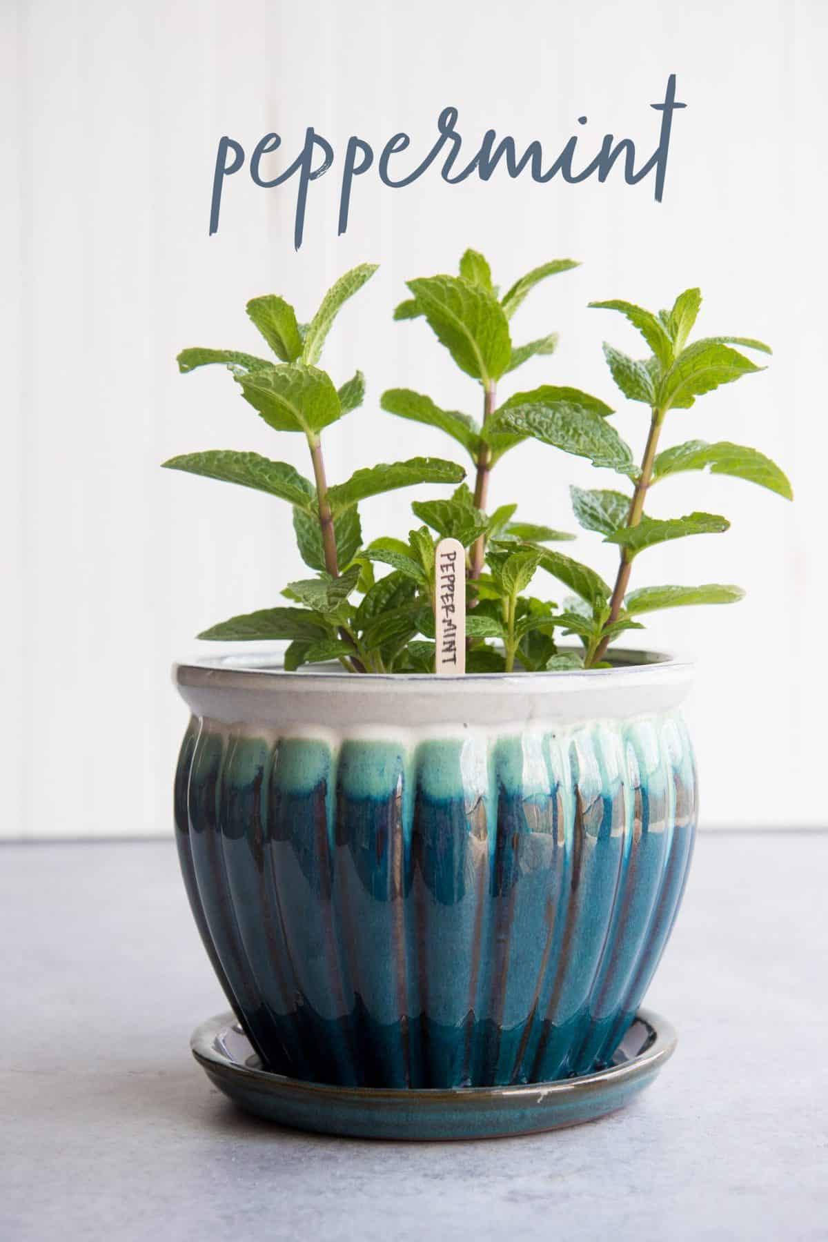 Peppermint in a blue and white flowerpot, with a text overlay