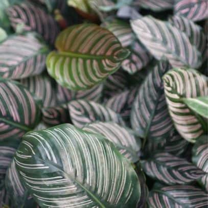 Several pinstripe calathea plants grow together