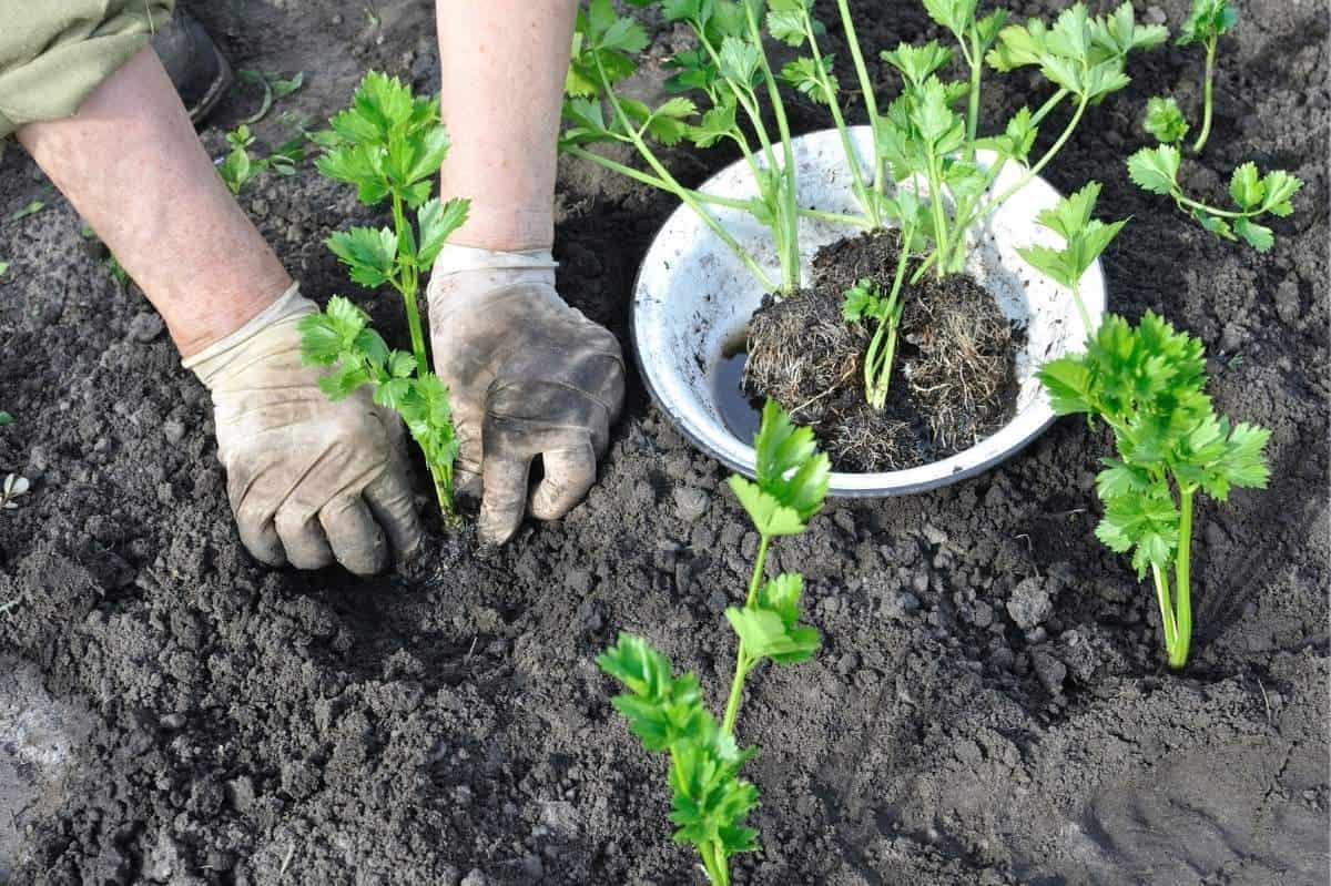 Gloved hands transplant celery seedlings.