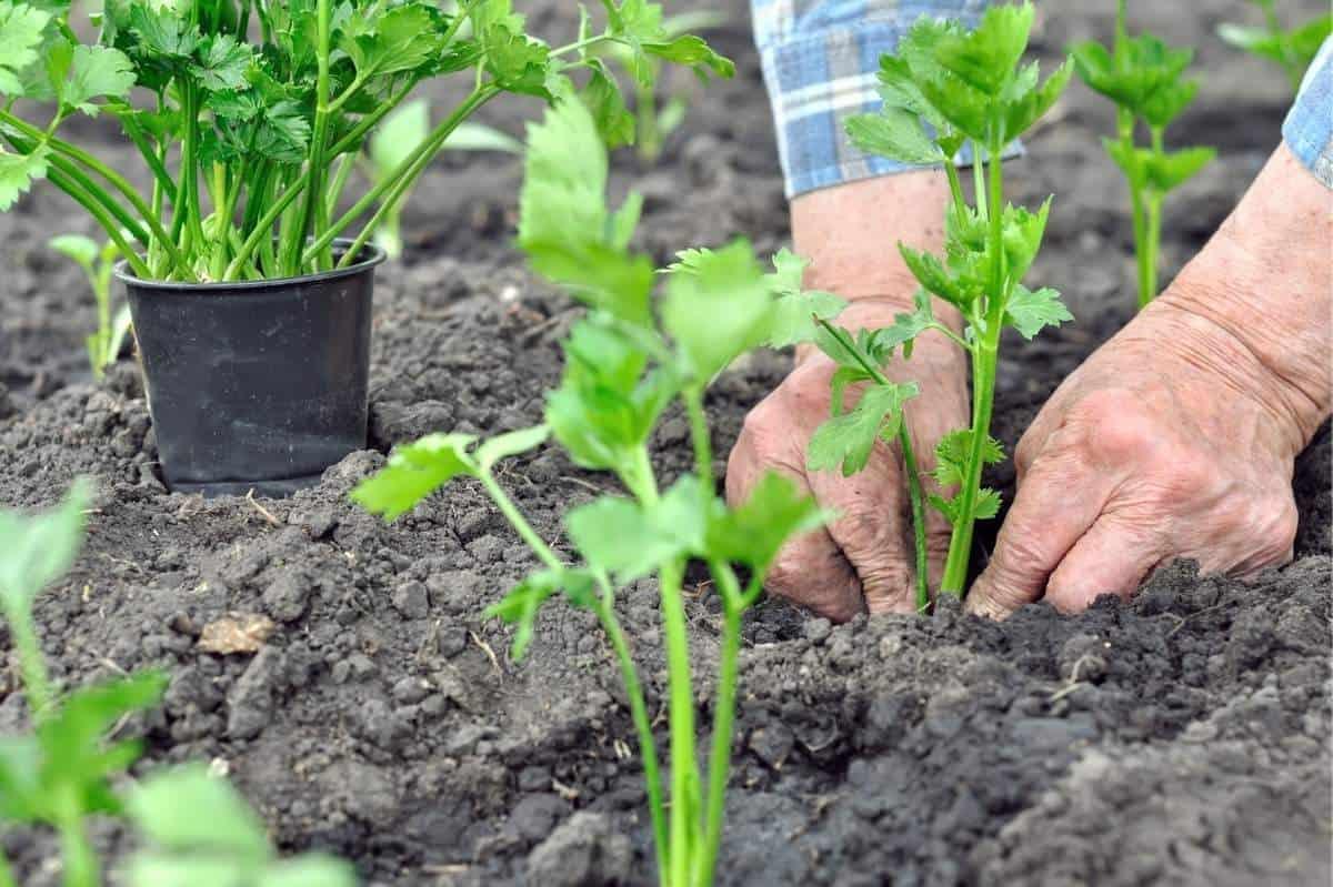 Hands transplant celery seedlings to soil.
