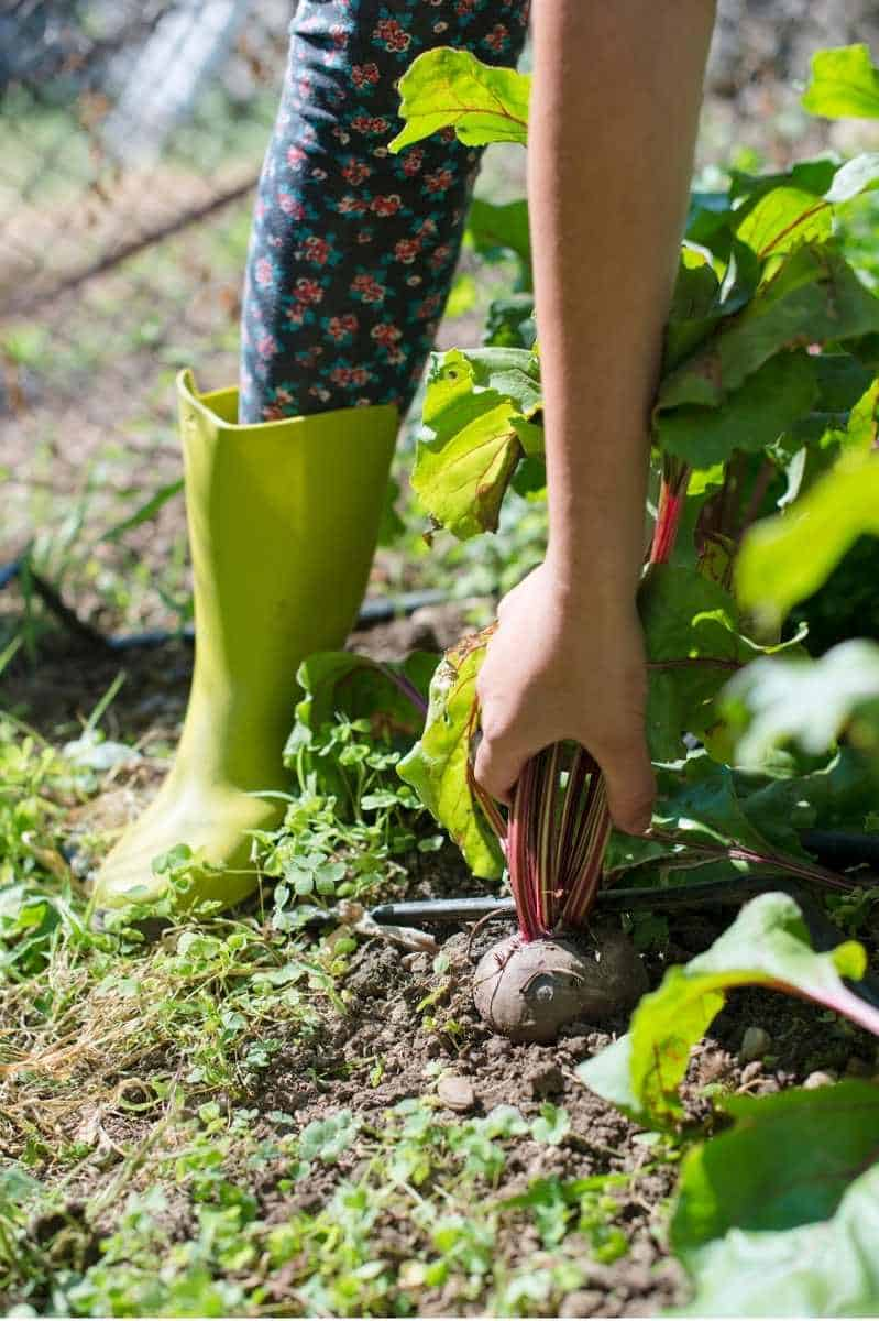 A hand pulls a ripe beet out of the soil
