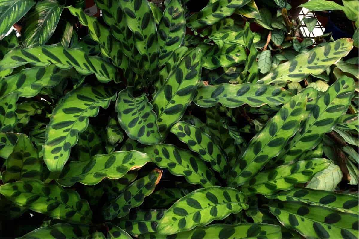 Striped foliage of calathea lancifolia, or the rattlesnake plant.