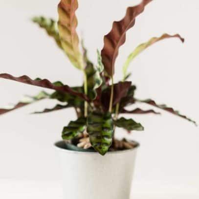 A calathea lancifolia in a white pot