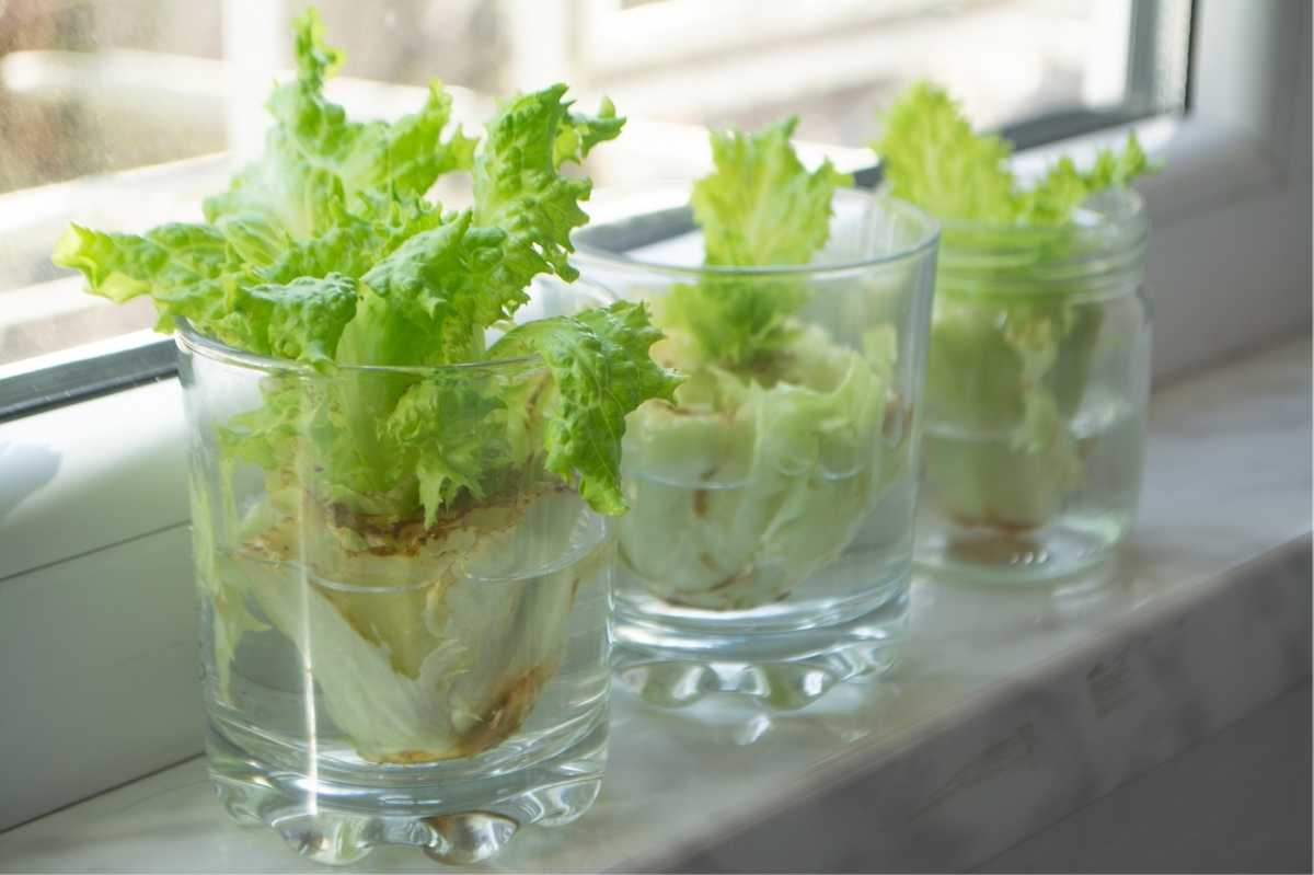 Romaine regrows in small glasses of water on a windowsill