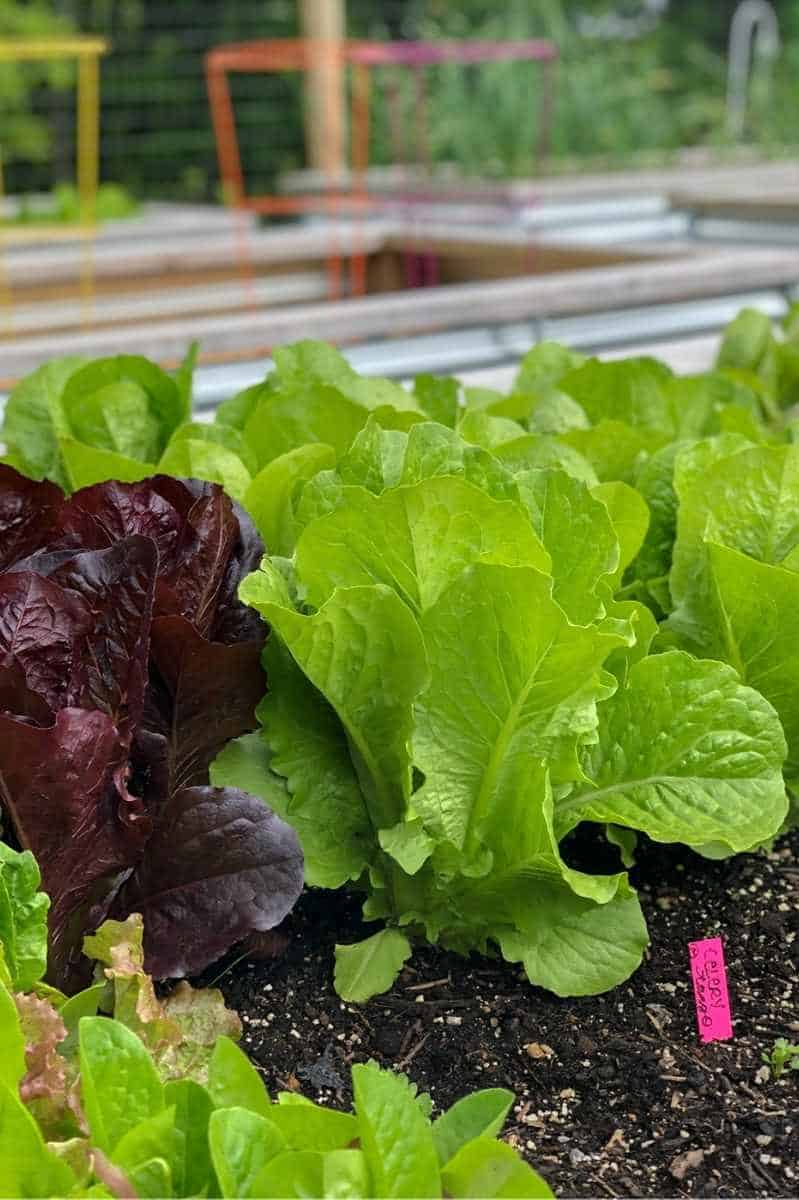 Romaine lettuces growing in a raised garden bed