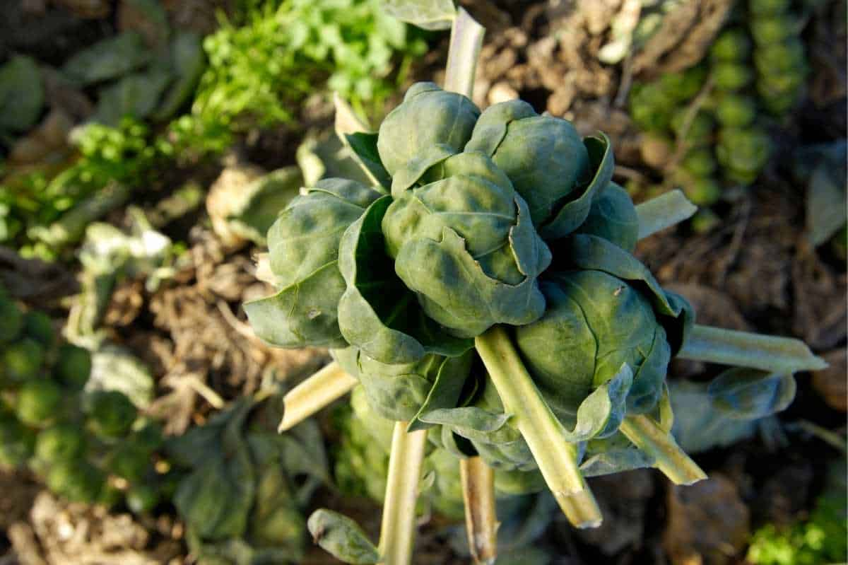Close up of the rosette Brussels sprout on the top of a stalk