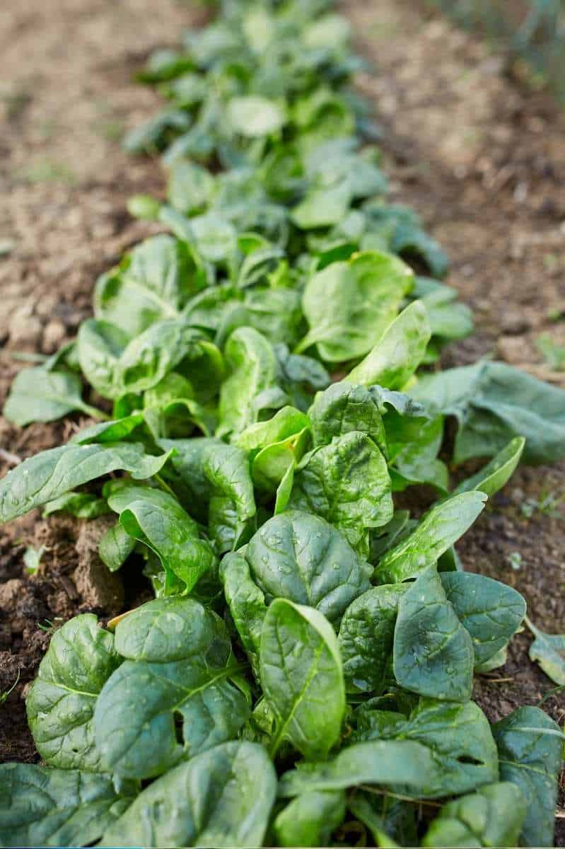 A row of spinach plants in a garden