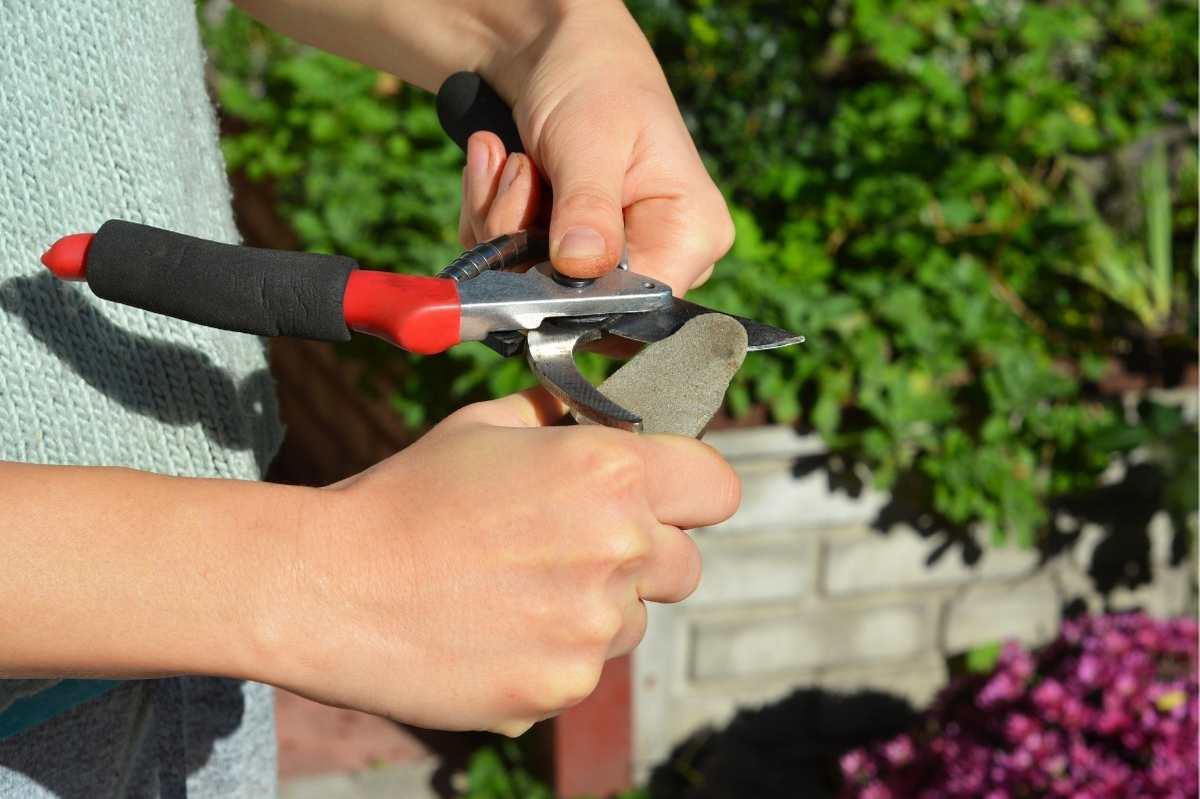 Hands sharpen a bypass pruner
