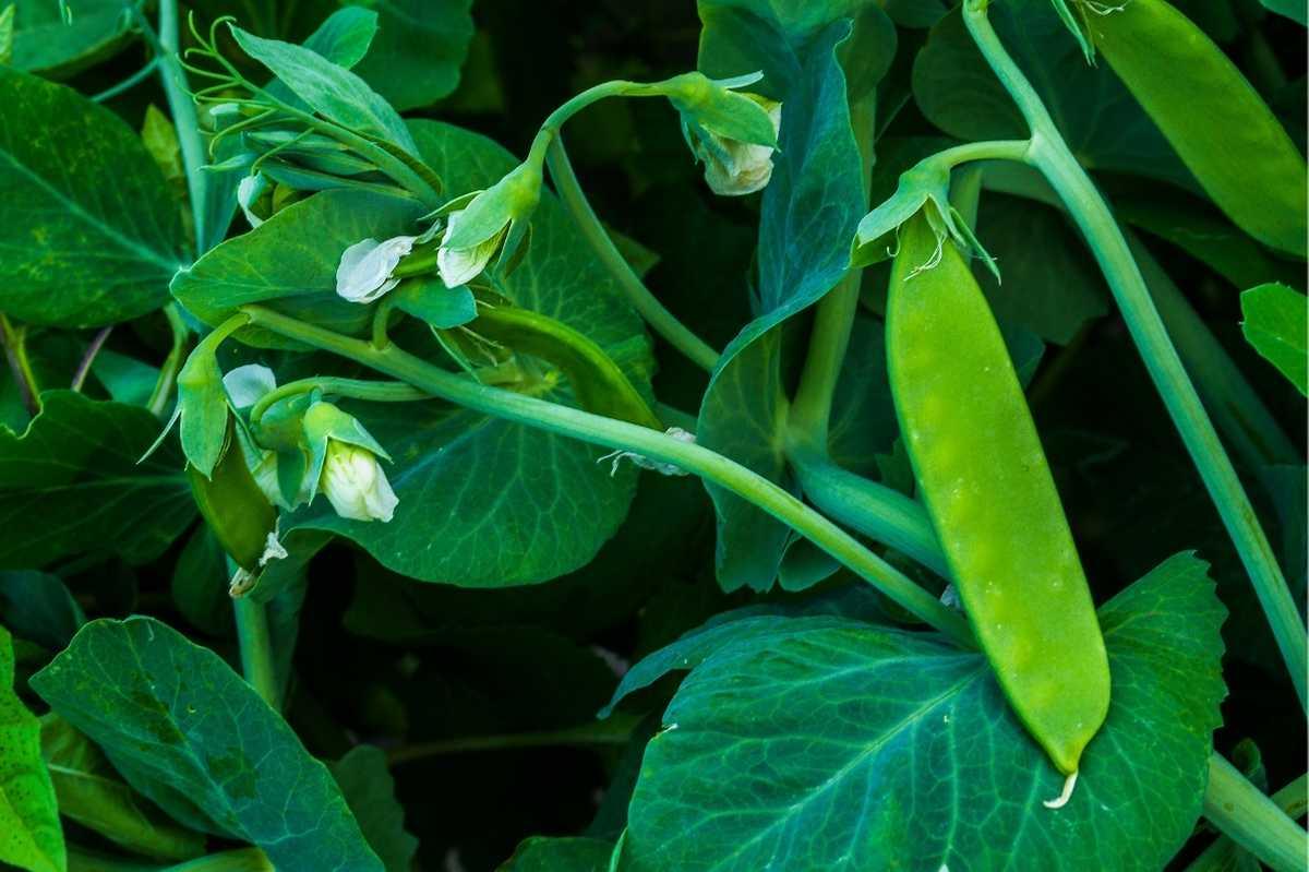 A snow pea grows on a vine