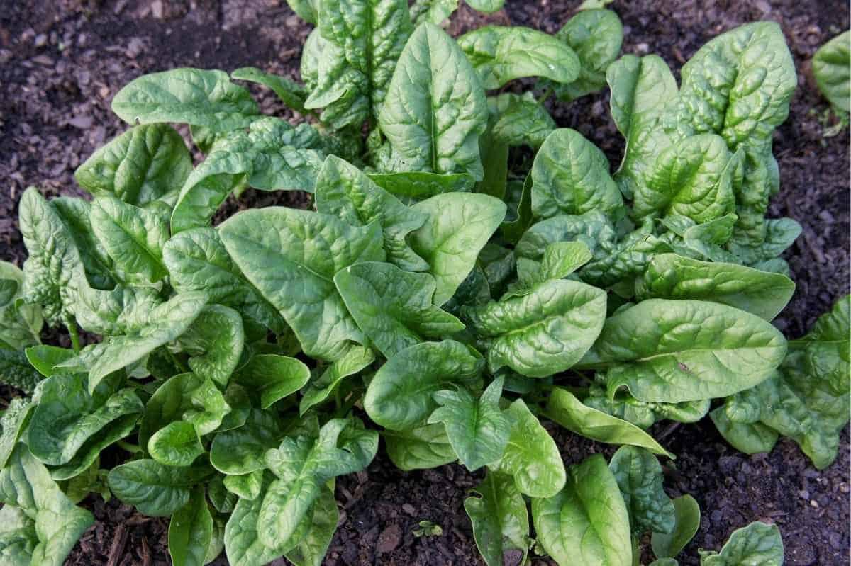 Spinach plants growing in garden soil.