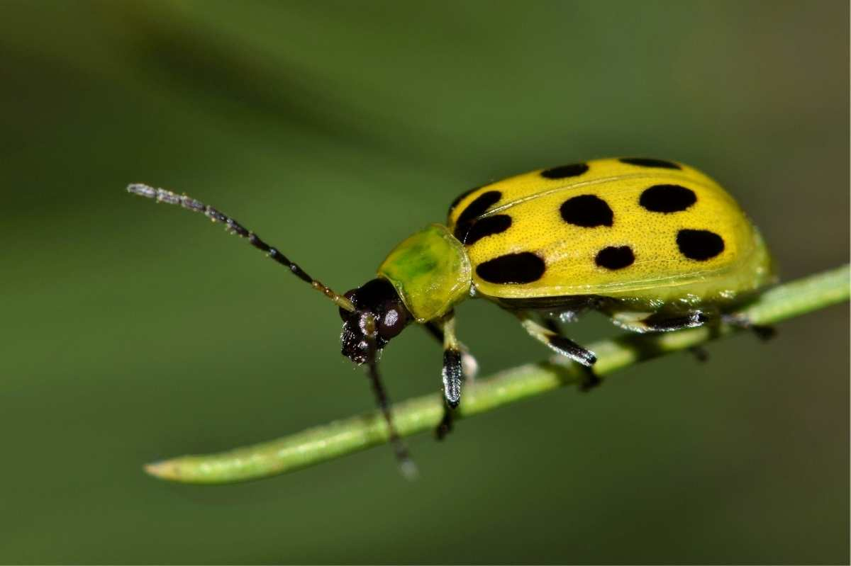 A spotted cucumber beetle perches on a stem