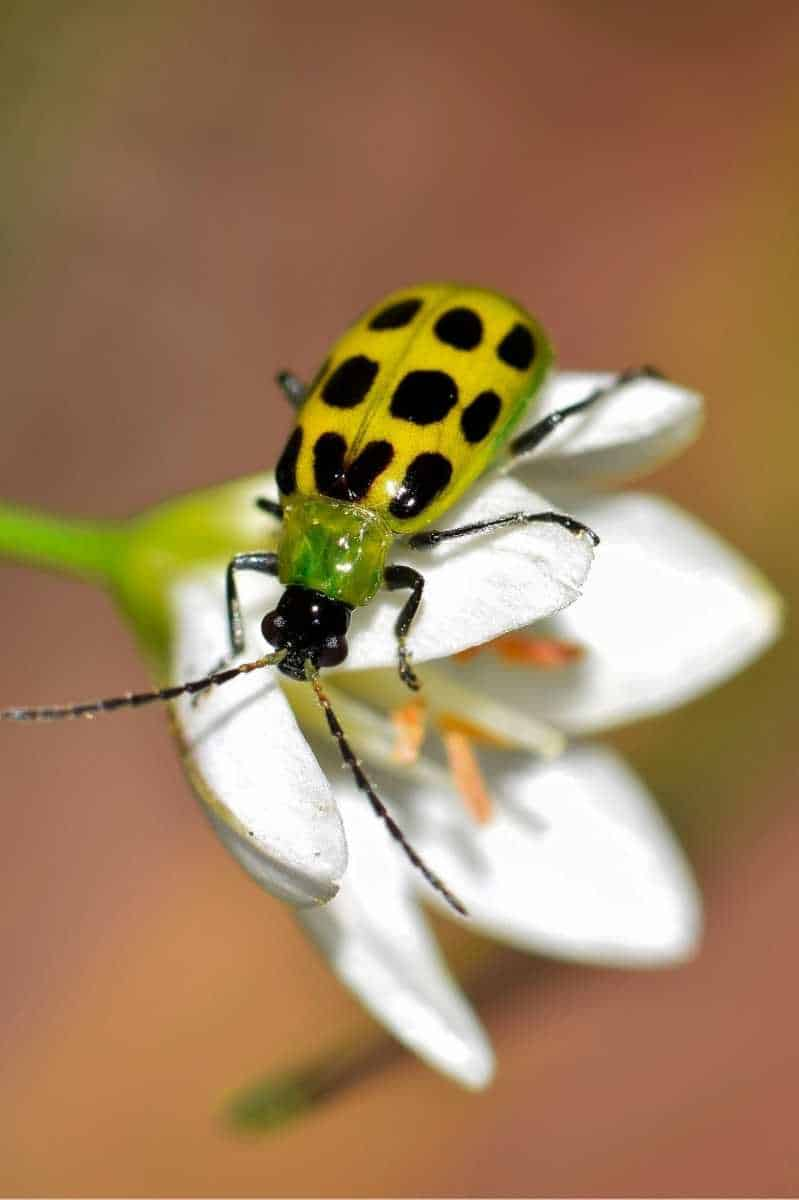 A spotted cucumber beetle perches on a white flower