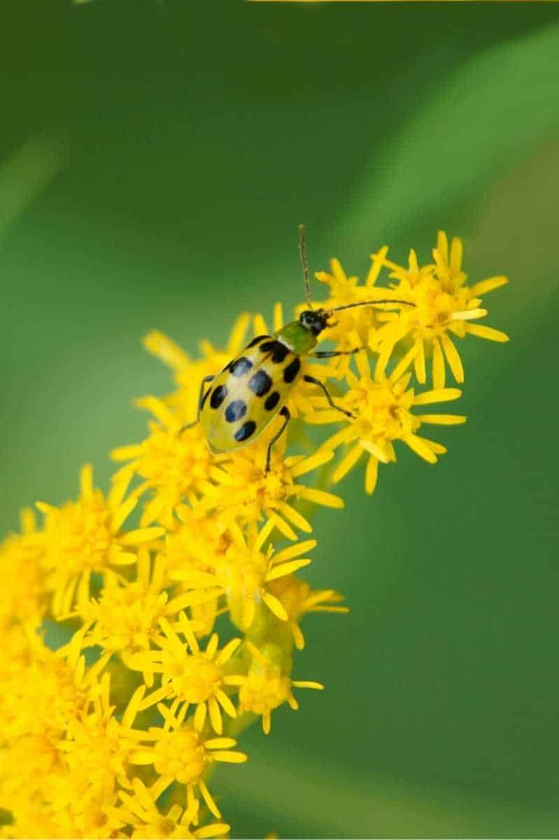 A spotted cucumber beetle crawls on small yellow flowers.