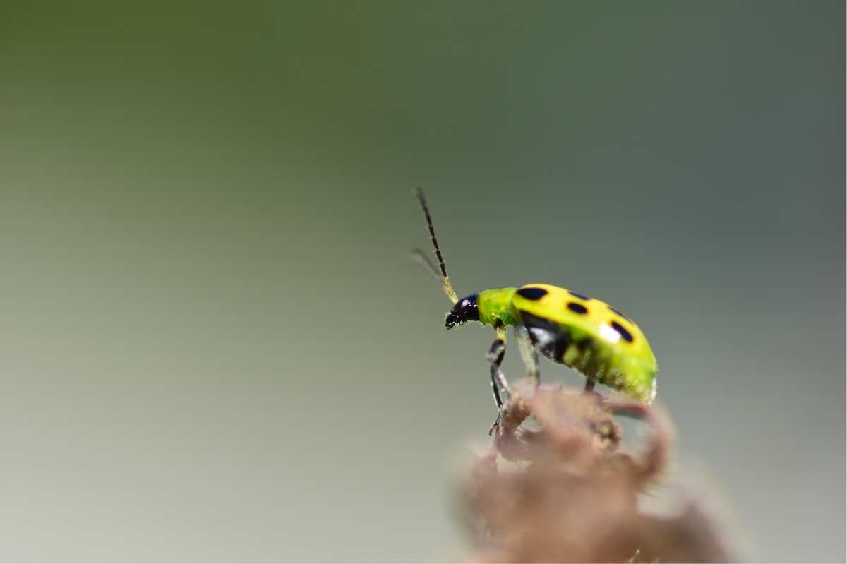 Close up on a spotted cucumber beetle