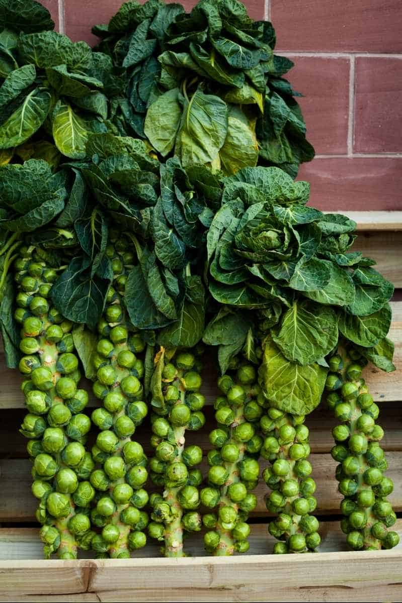 Harvested Brussels sprouts stalks lean up against a wall