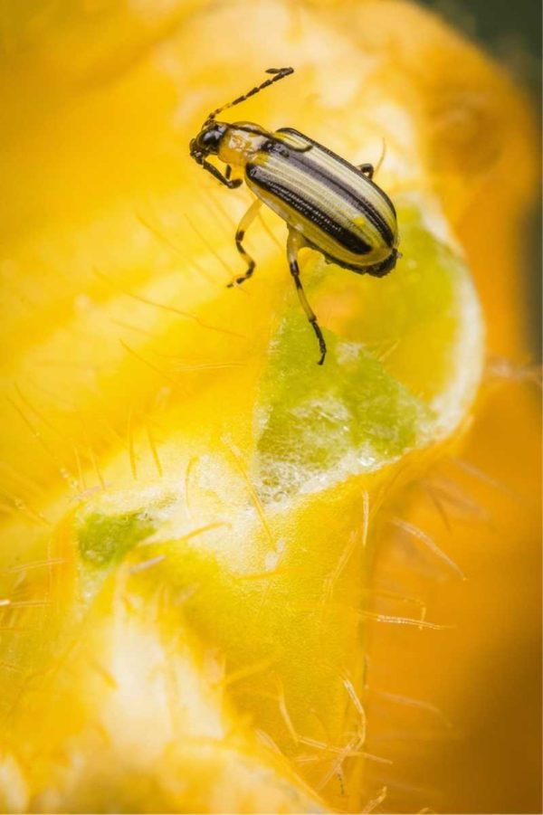 A striped cucumber beetle crawls in a squash blossom