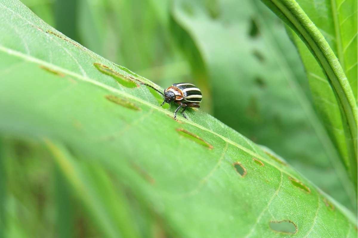 A striped cucumber beetle crawls on a damaged leaf