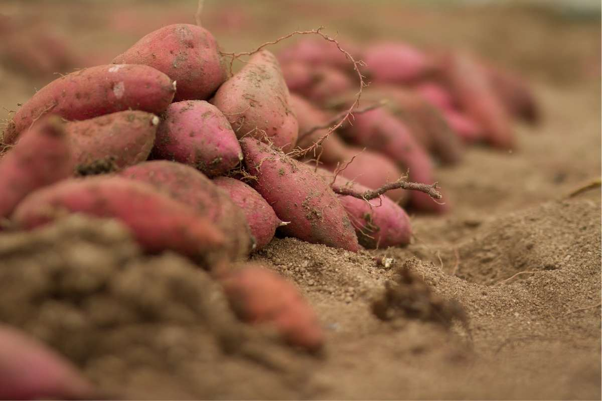 Sweet potato harvest sits on top of the ground