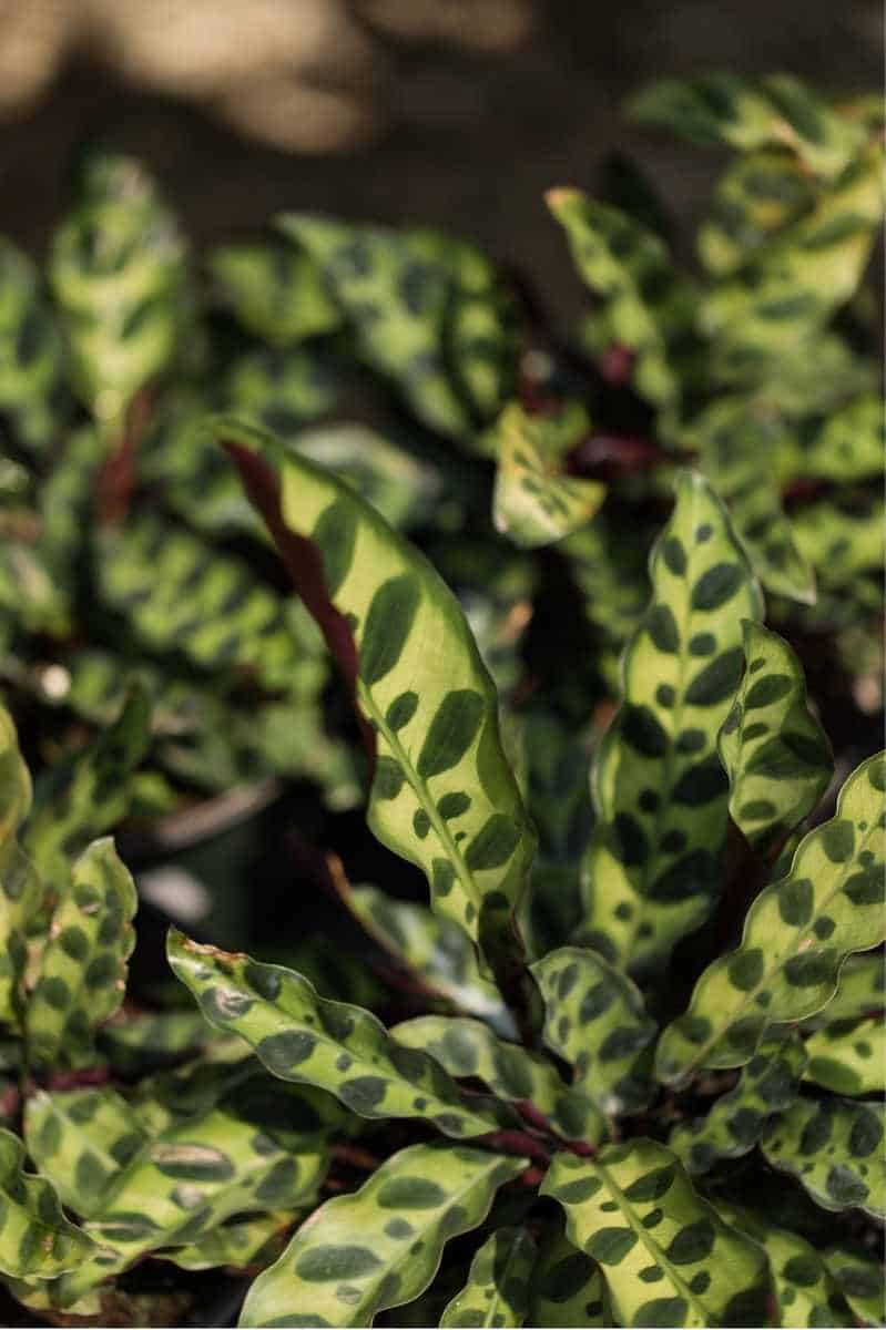 Several rattlesnake plants clustered together, so you can only see the leaves