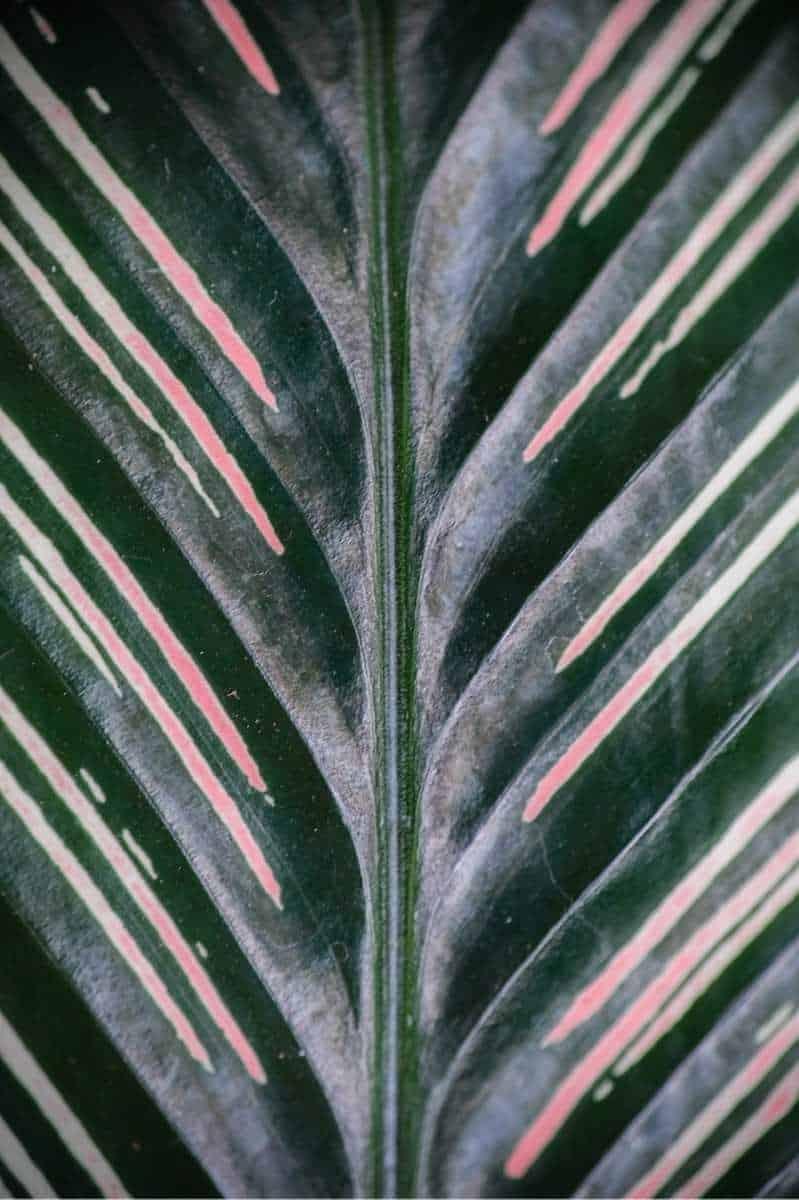 Close up of a calathea ornata leaf