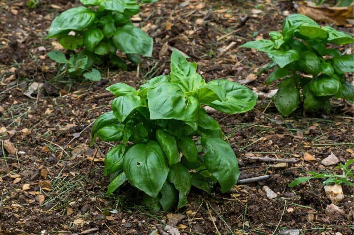 Three basil plants grow in the garden