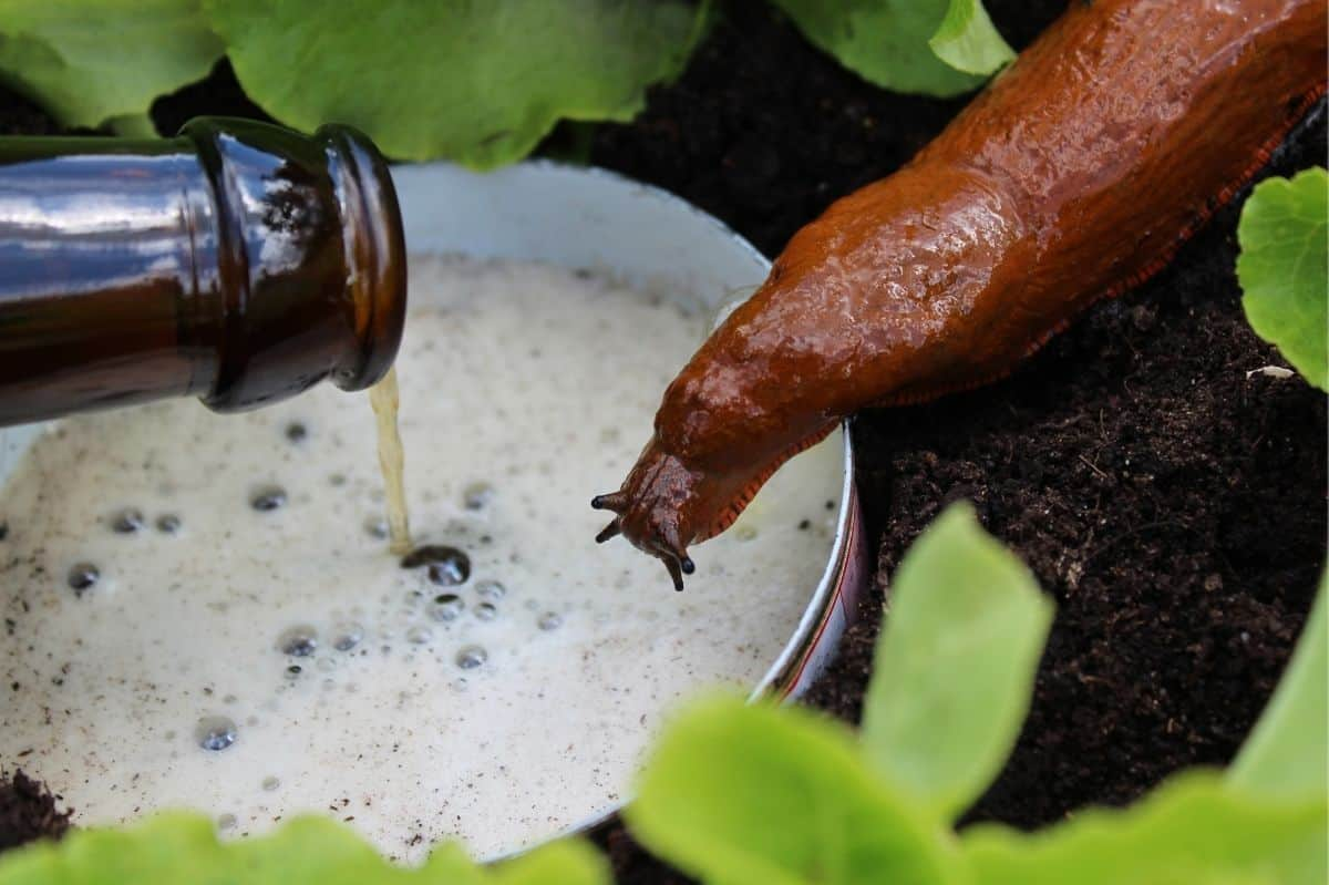 A slug hovers over a beer trap being created to get rid of slugs