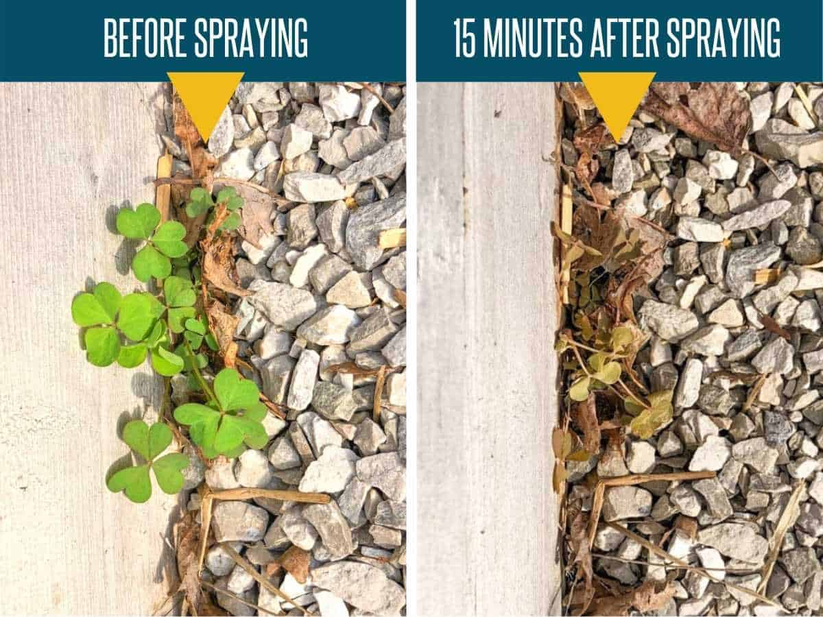 A split image shows a plant before and 15 minutes after spraying with homemade weed killer
