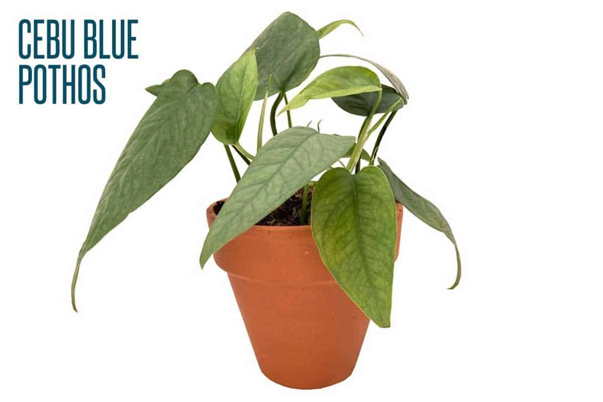A cebu blue plant is in a terra cotta pot and is labeled.