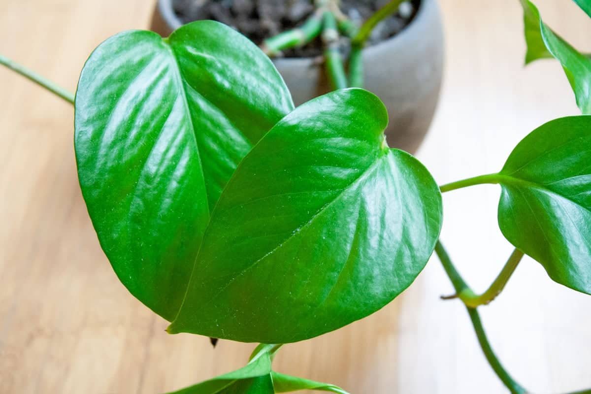 Close up on two overlapping jade pothos leaves