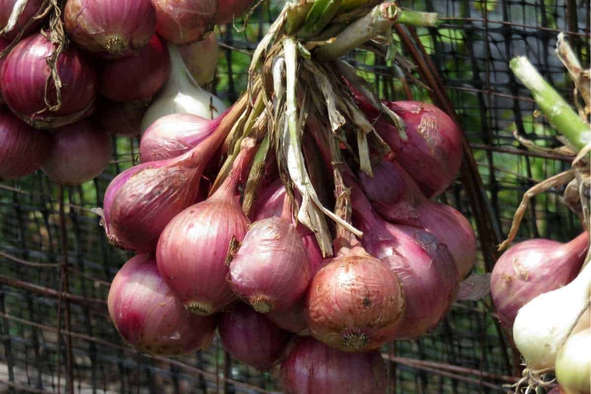 A bundle of red onions hand to cure