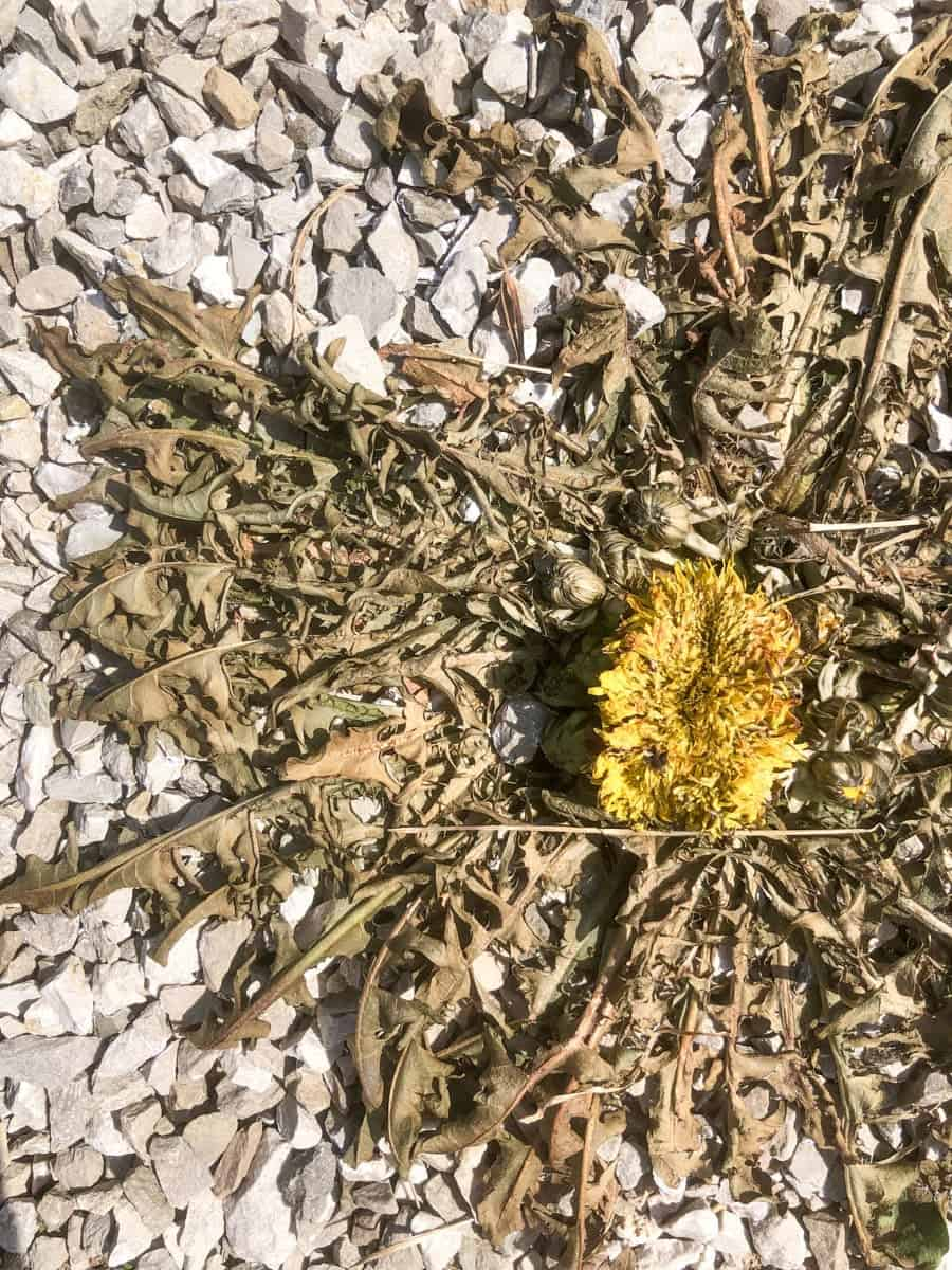 A dead dandelion after being treated with homemade weed killer