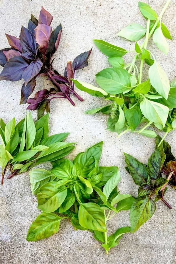 Different kinds of freshly harvested basil are arranged in piles on concrete
