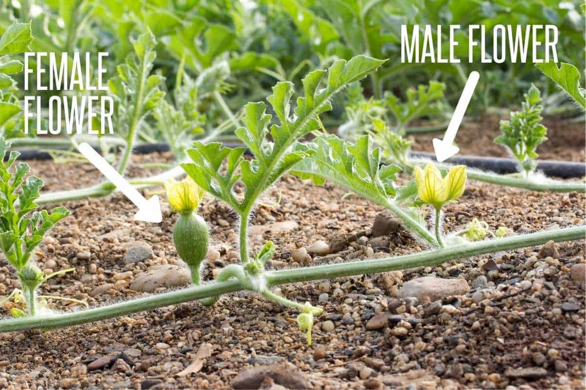 A watermelon vine is labeled to show the difference between a male flower and a female flower