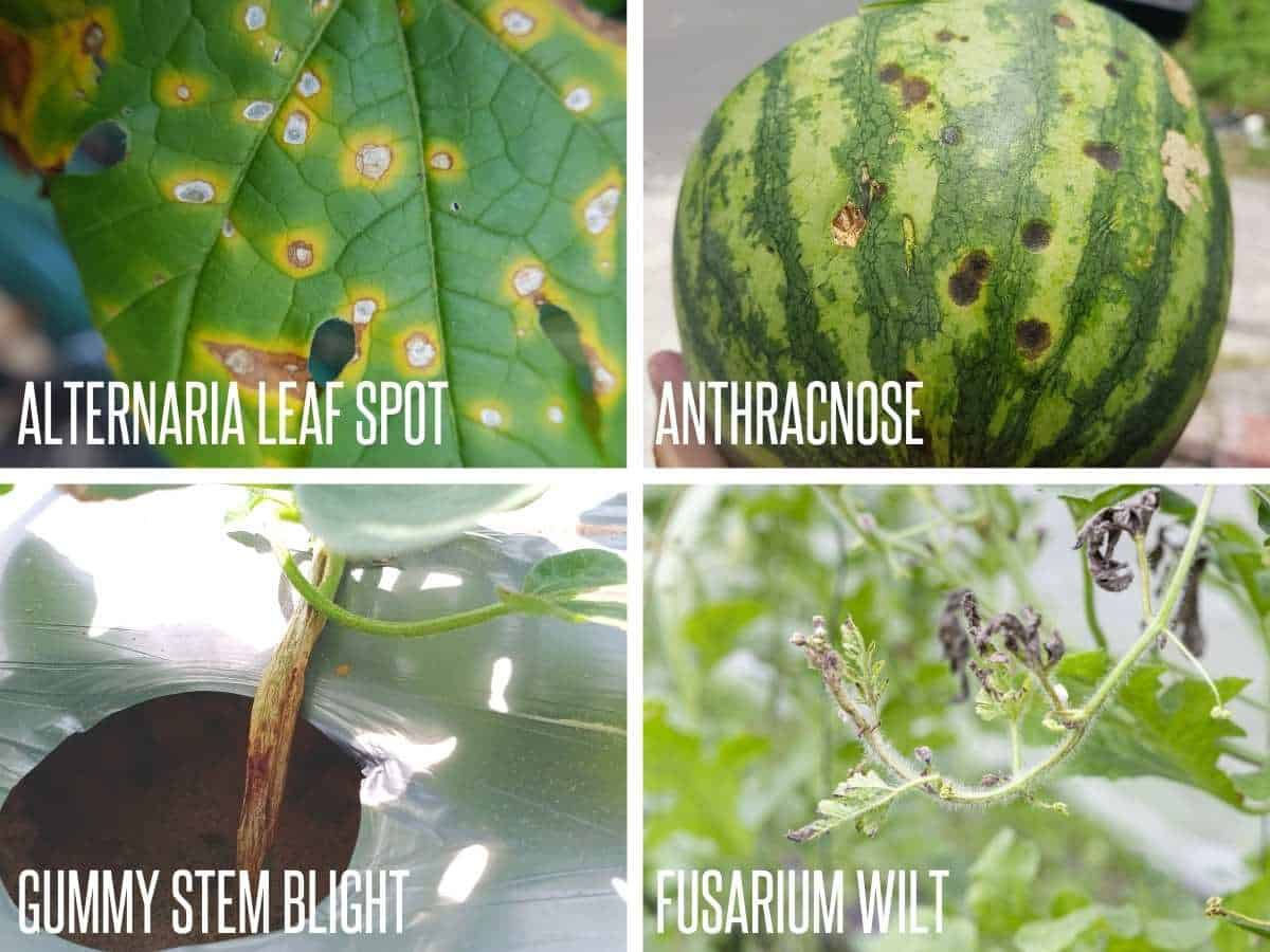 A divided image shows the possible fungal infections of watermelon: alternaria leaf spot, anthracnose, gummy stem blight, fusarium wilt