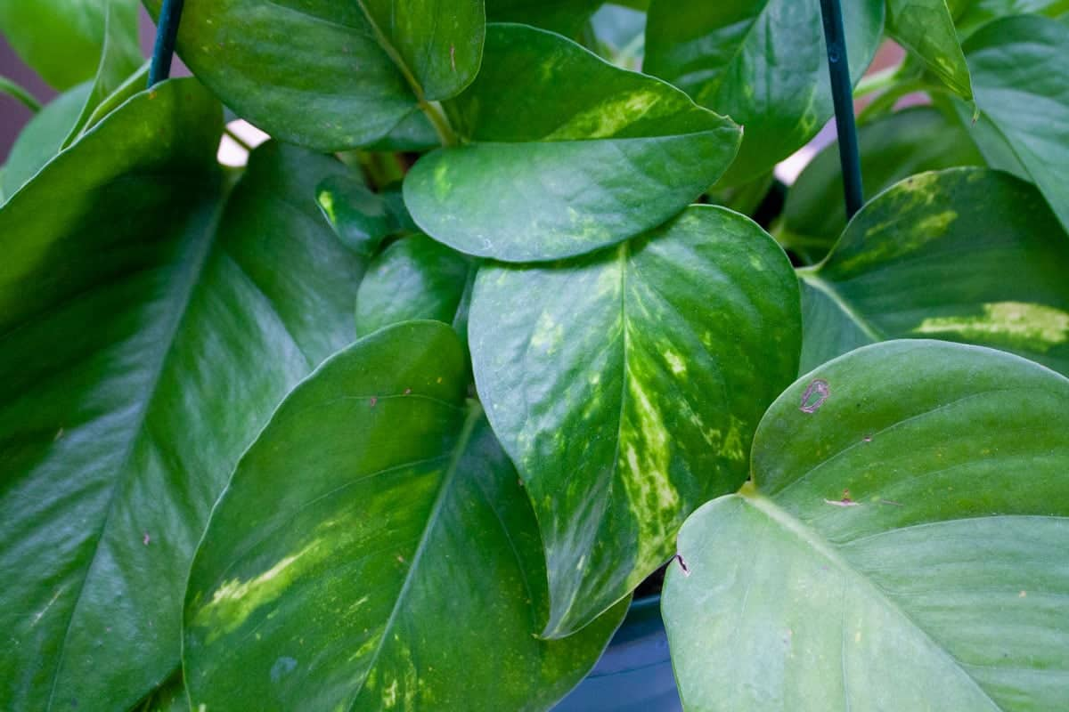 Close up on the leaves of a golden pothos plant