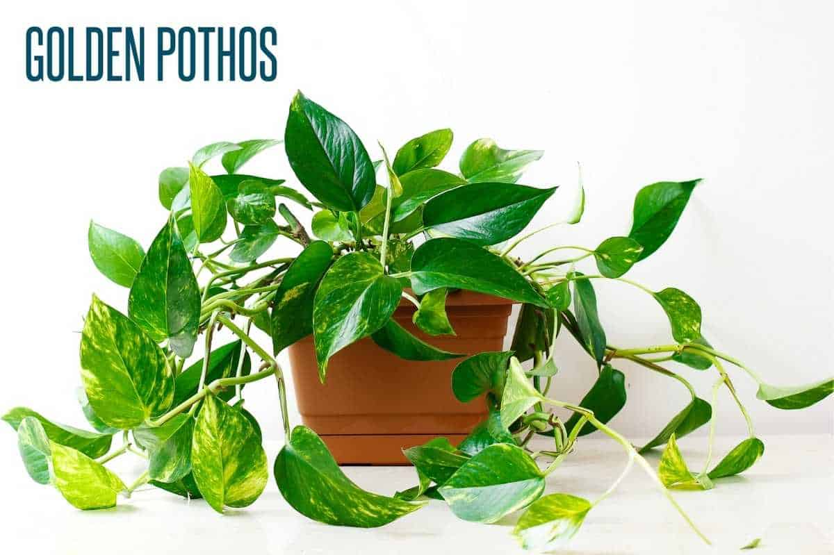 a golden pothos is in a brown planter and is labeled