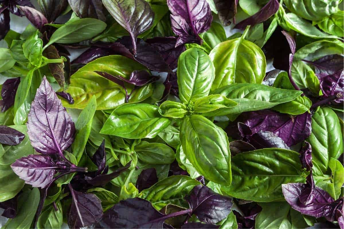 A pile of freshly harvested purple and green basil leaves