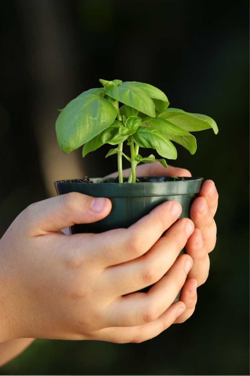 Small hands hold a plastic pot with a basil seedling