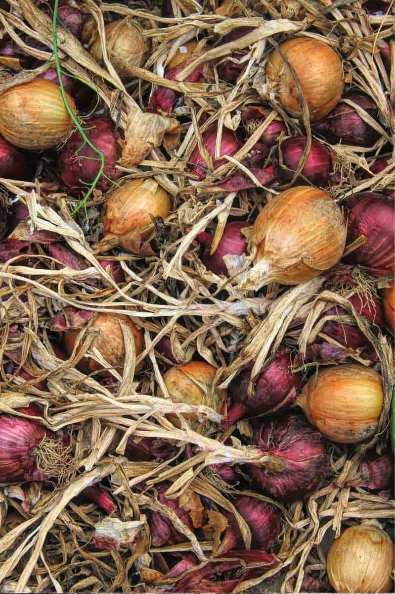 A pile of harvested yellow and red onions