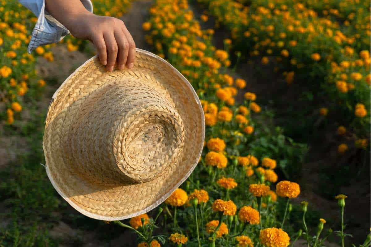 A hand holds a straw hat in a field of marigolds