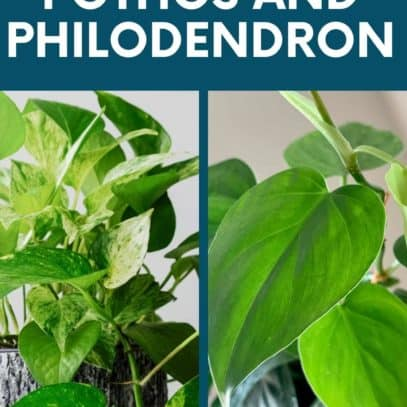 "A split image shows a pothos next to a heart leaf philodendron. A text overlay reads ""How to Tell Apart Pothos and Philodendron"""