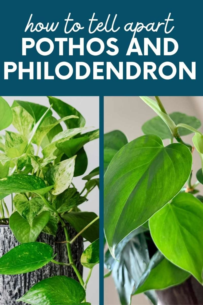 """A split image shows a pothos next to a heart leaf philodendron. A text overlay reads """"How to Tell Apart Pothos and Philodendron"""""""
