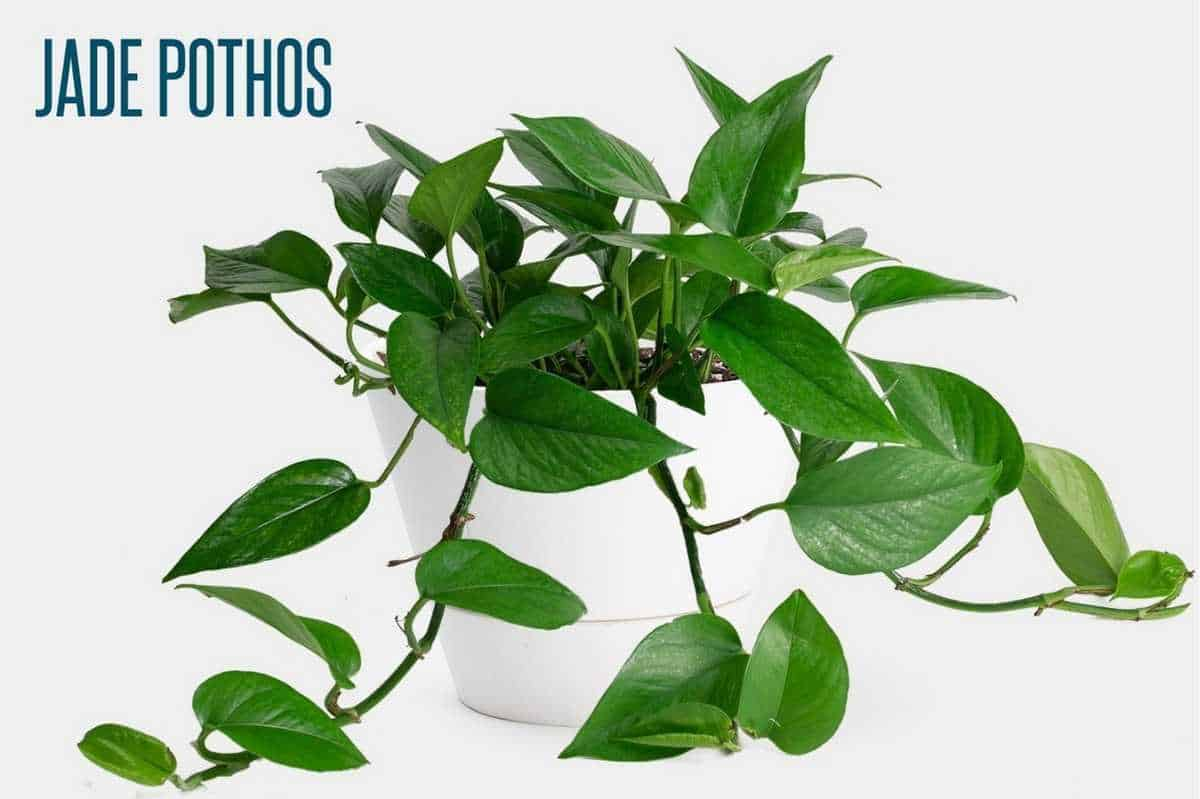 A jade pothos is in a white planter and is labeled.