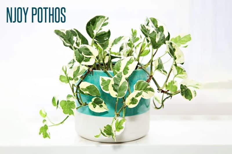 A NJoy pothos in a white and teal pot