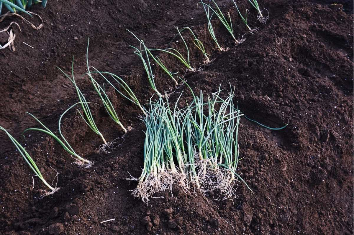 Onion transplants are lined up in a ditch in the soil, ready to be planted